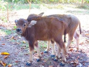 Baby water buffaloes!